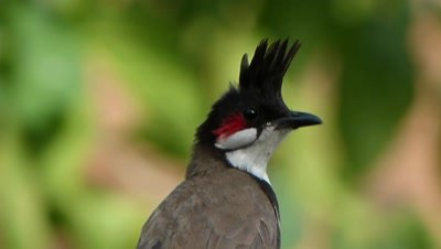 Red Whiskered Bulbul ( Pycnonotus jocosus ) is enjoying high wind in this summer noon. A front view