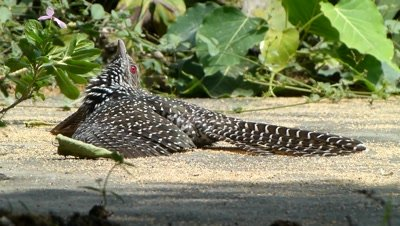 Koel ( Eudynamys Scolopacea R Crow ) Female is taking heat from hot ground, it may be a natural medication, is a genus of cuckoos from Asia, Australia and the pacific. They made loud  distinctive calls. They are brood  parasites, laying their eggs in the nests of other species.