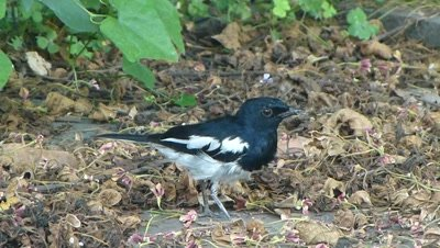 Magpie Robin ( Copsychus saularis R Bulbul ) catches an small butterfly ( Patanga ) and eating.