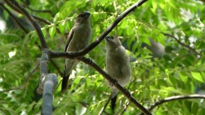 Indian silver bills (Lonchura malabarica) Mating ritual – The Nuptial jumping on the branches of Murraya Koenigii (Helichrusum Italicum) tree, Meethi Neem,