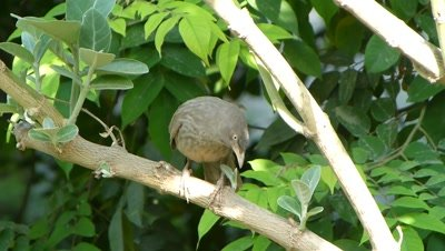 Jungle Babblers (Turdoides Striata) also called seven sisters is cleaning her beak by rubbing it on the branch of  Sodom apple, Aak, Madar, Akvana, Arka,