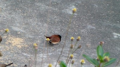 Blackheaded Munia ( Lonchura Malacca R Sparrow ) is eating Setaria Italica seeds on ground with Indian Silver bills, White throated Munia, Lonchura malabarica.