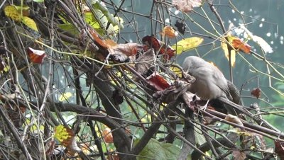Jungle Babblers (Turdoides Striata) also called seven sisters is searching eatable in dried leaves of grape creeper and flew.