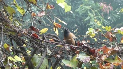 Rufous Treepie (Dendrocitta Vagabunda) is searching eatable on the grape creeper, changed position and flew.