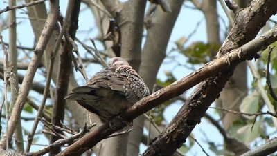 Spotted Dove ( Spilopelia chinensis ) is Preening on the branch of Mulberry Tree.