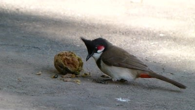 Red Whiskered Bulbul ( Pycnonotus jocosus ) is eating  Chiku (Sapodilla) on ground.