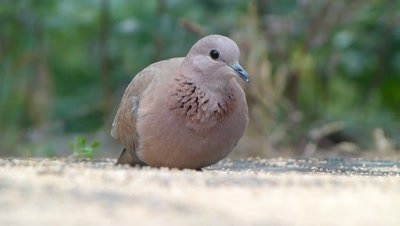 Young  Spotted Dove ( Spilopelia chinensis ) is eating Setaria Italica seeds on ground, an extreme close up view
