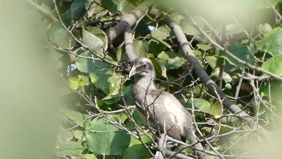 Indian Grey Hornbill ( Ocyceros birostris ) an individual with a shorter casque, possibly a  juvenile or female is searching fig on the fig tree and jumped on another branch.