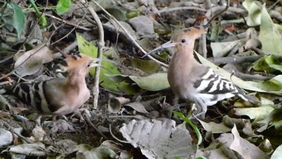 Hoopoe (Upupa epops) is digging the ground in search of insects especially pupa of butterflies and threatened the Juvenile.