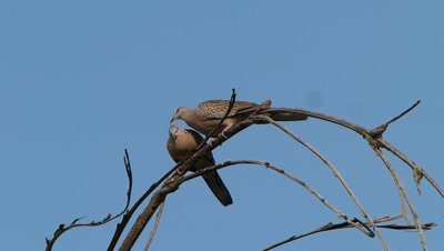 A pair of  Spotted Dove ( Spilopelia chinensis ) is Preening on the branch of  Fishtail Palm tree.