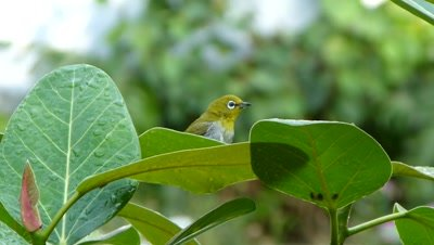 Orintal White-eye  ( Zosterops palpebrosus ) is bathing on the leaf of Banyan  tree in a hot summer evening.