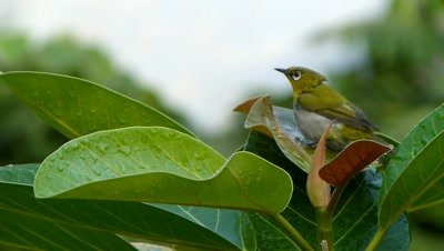 Another view of  Orintal White-eye ( Zosterops palpebrosus ) is bathing on the leaf of Banyan  tree in a hot summer evening.