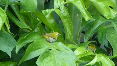Two  Orintal White-eyes ( Zosterops palpebrosus ) are bathing on the leaves of  Creeping Pilodendron.