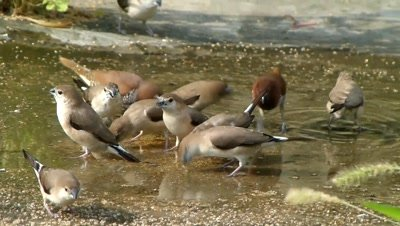 A Flock of  Indian Silver bills ( White throated Munia - Lonchura malabarica ) and Scaly breasted munias ( Lonchura punctulata) are eating accumulated seeds of Setaria Italica in stagnant water after rain, in evening sunshine and flew.