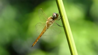Golden Dragonfly- Needham's Skimmer ( Libellula needhami ) balancing and resting on Areca Palm (Dypsis Lutescens ), Golden cane palm shoot, in high wind.