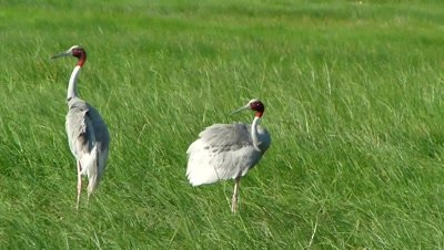 Sarus Cranes ( Grus antigone ) are Preening in the grassland of adjoining wetland. The  Sarus Crane is a large non migratory crane found in Indian Subcontinent,  Southeast Asia  and  Australia.