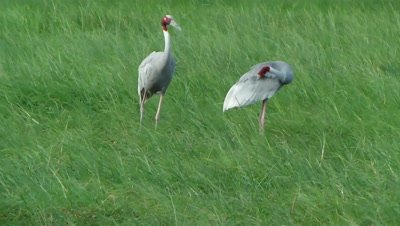 Sarus Crane ( Grus antigone ) is Preening and her mate flapping wings in grassland of the adjoining wetland. The  Sarus Crane  is  a  large  non  migratory  crane  found  in  Indian Subcontinent,  Southeast Asia  and  Australia.