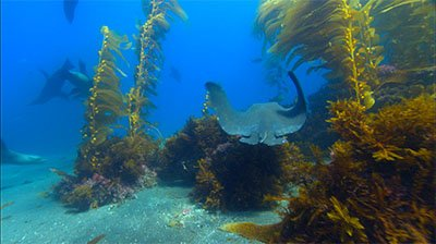Reveal Bat Ray Track Through Kelp Forest To Sea Lion