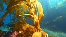 Travel Up Kelp Frond