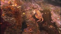 Cancer Crab Crawls Over Reef