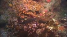 Rockfish Fighting