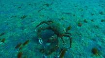 Decorator Crab Across Sand