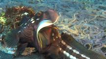 Fringeheads Fighting In Territorial Dispute