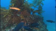 Senoritas And Blue Chromis In Kelp