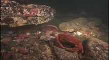 Cancer Crab Lurks Near Giant Octopus Den