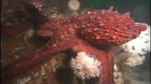 Giant Octopus Travels Over Metridium Anemones