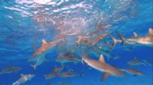 School Of Grey Reef Sharks Feeding