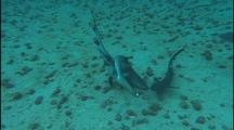 White Tip Shark Mating