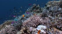 Coral Reef, Colorful Fish, Locked Down, South Pacific