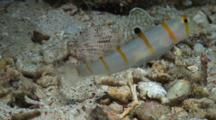 Shrimp Goby, Sentinel Goby, Randall's Goby