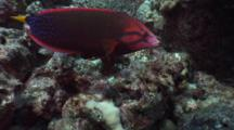 Yellowtail Coris, Clown Wrasse, Cori Gaimard, Female, Rock Mover, Rock Flip, Foraging