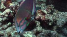 Yellowtail Coris, Clown Wrasse, Cori Gaimard, Male, Rock Mover, Rock Flip, Foraging