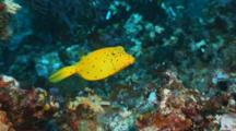 Juvenile Yellow Boxfish On Reef