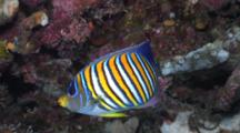 Regal Angelfish, Angelfish, Pygoplites Diacanthus