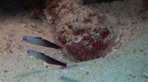 Dartfish, Elegant Firefish, Firefish, Nemateleotris Decora