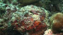 Stonefish, Synanceia Verrucosa, Camouflage, Venemous