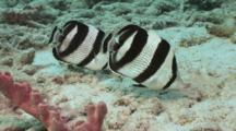 Banded Butterflyfish Pair