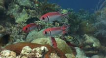 Red Blackbar Soldierfish