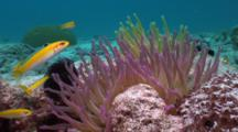 Reef Scene, Anemones And Yellow Fish, Bluehead Wrasses, Locked