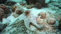 Octopus, Octopus Vulgaris, Color Change, Swimming