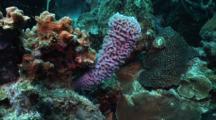 Purple Azure Vase Sponge, Callyspongia Plicifera