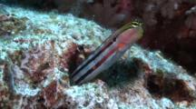 Blenny, Axelrod's Blenny, Clown Blenny, Ecsenius Axelrodi