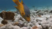 Spanish Hogfish Feeding, Bodianus Rufus
