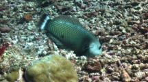 Fish Flipping Rocks, Rockmover Wrasse, Dragon Wrasse, Novaculichthys Taeniourus