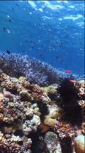 Coral Reef, Vertical, Locked Down, Sunlight, Blue Corals, Stag Horn Coral,