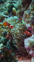Coral Reef, Vertical, Locked Down, Clownfish, Anemone Fish, Premnas, Maroon Anemone Fish